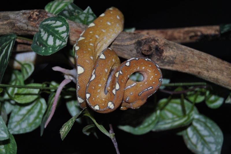 Morelia viridis Wamena F1 Dsc_1011