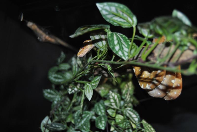 Morelia viridis Wamena F1 Dsc_1511