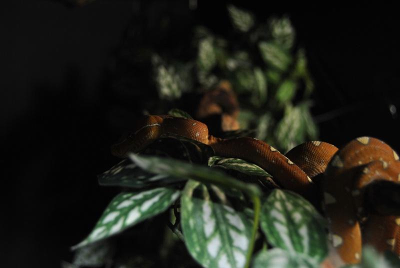 Morelia viridis Wamena F1 Dsc_1512