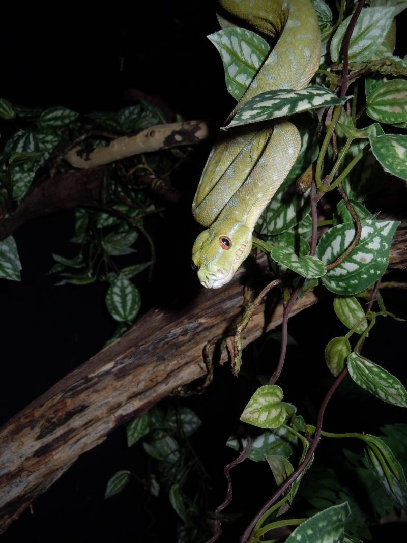 Morelia viridis Wamena F1 Dscn0510