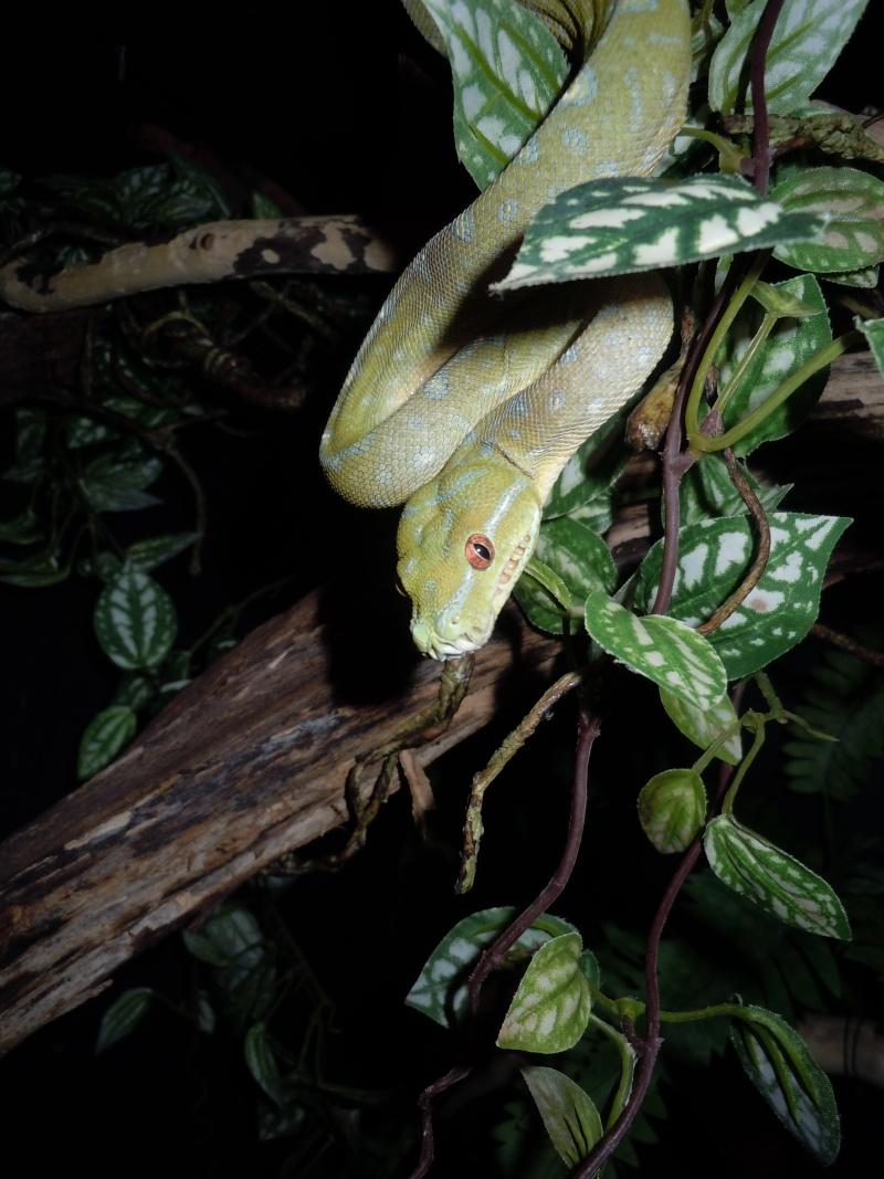 Morelia viridis Wamena F1 Dscn0511