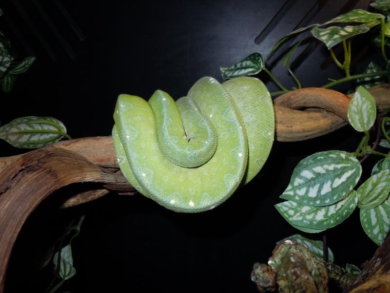 Morelia viridis Wamena F1 - Page 2 Dscn0611