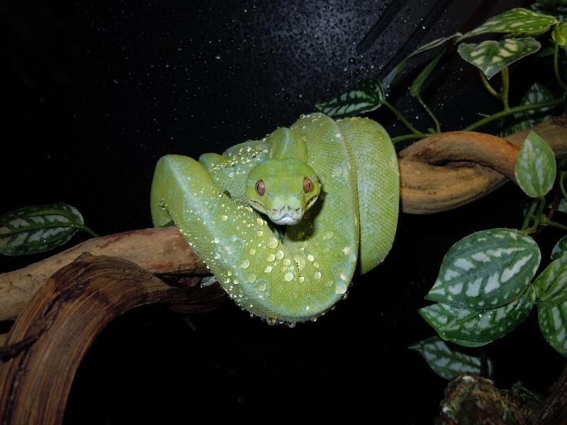 [Fiche] Morelia viridis Dscn0613