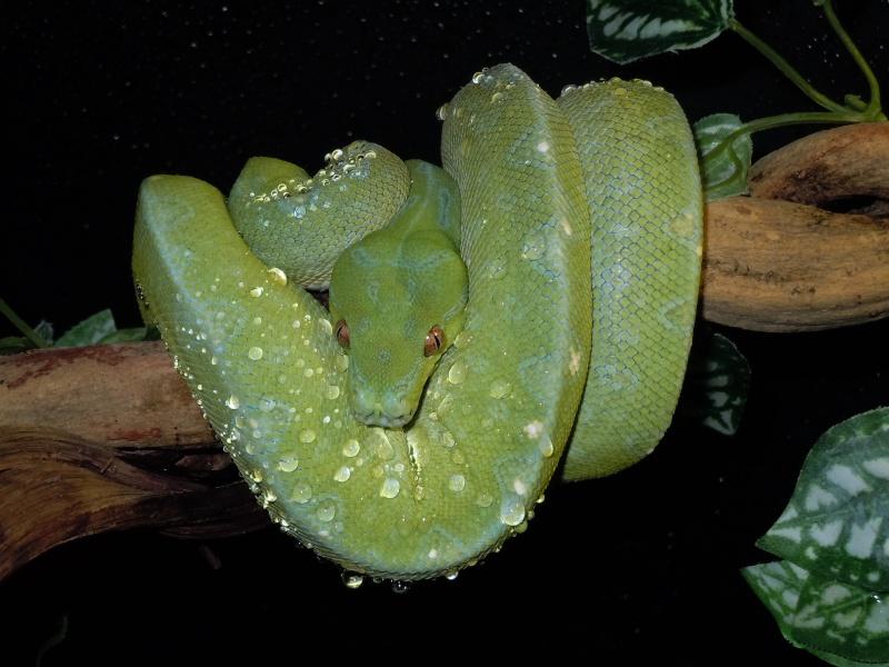 Morelia viridis Wamena F1 - Page 2 Dscn0614