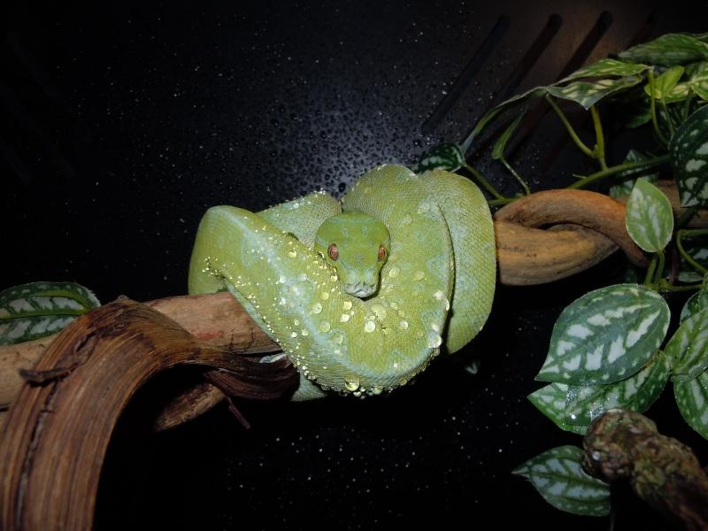 Morelia viridis Wamena F1 - Page 2 Dscn0615