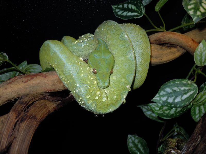 Morelia viridis Wamena F1 - Page 2 Dscn0616
