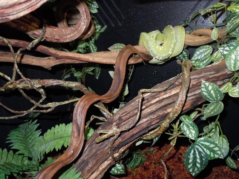 Morelia viridis Wamena F1 - Page 2 Dscn0618