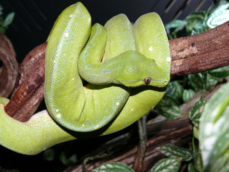 Morelia viridis Wamena F1 - Page 3 P1050615