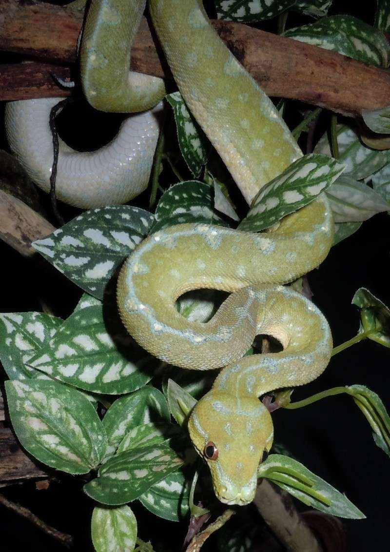 Morelia viridis Wamena F1 Wamus_14
