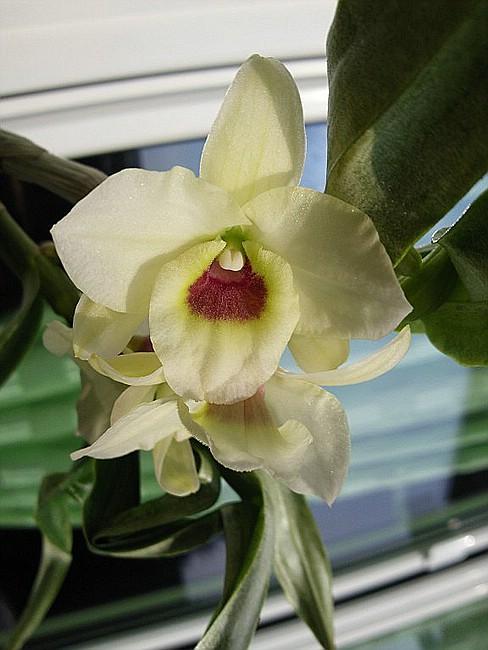 Orchideen - Seite 7 Dendro11