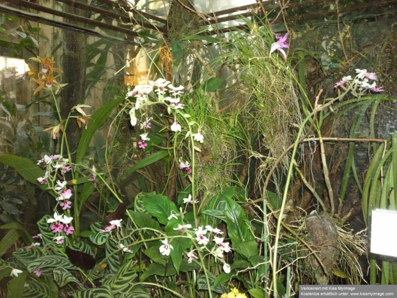 Orchideen - Seite 7 Orchi-10