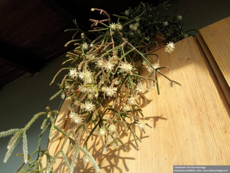 Rhipsalis pilocarpa Rhipsa11