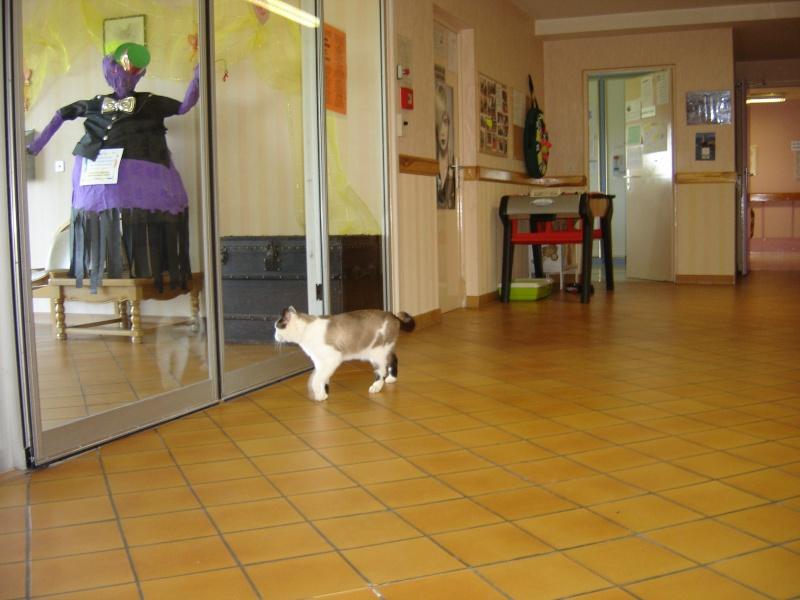 FELIX  CHat male en fourrière né  29/09/2004  adopté par LA CHATAIGNERAIE (37) Dsc06110