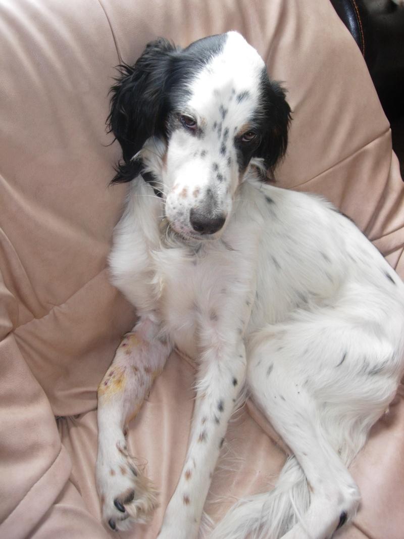 BEAU Setter Anglais né le 01.06.2009  adopté par BIGGLES (66) Dscn5730