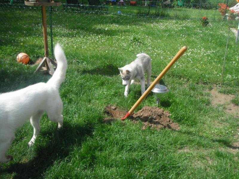 le siberien husky et un grand jardinier et oui Dscf2011