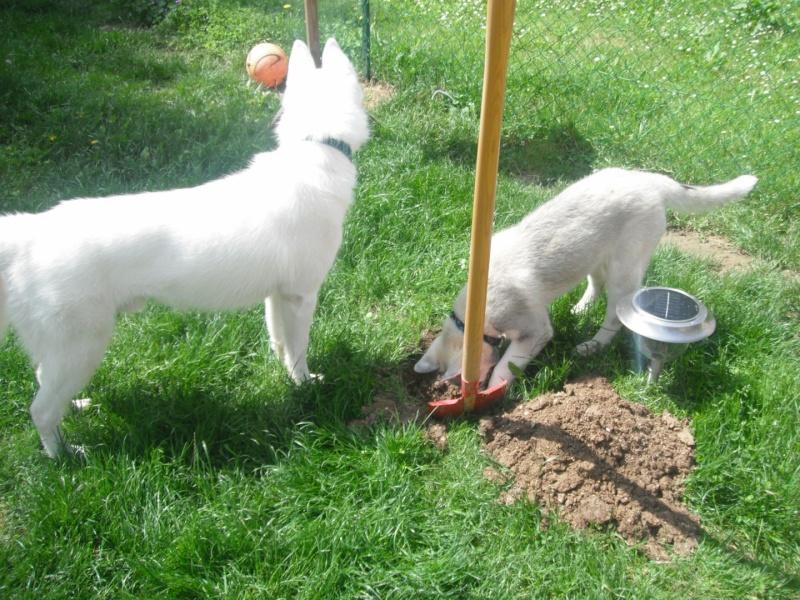 le siberien husky et un grand jardinier et oui Dscf2012