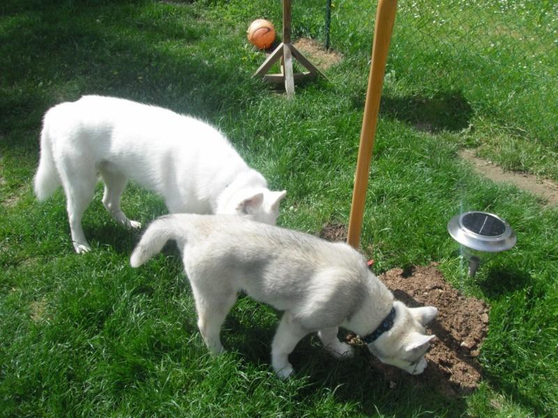le siberien husky et un grand jardinier et oui Dscf2013