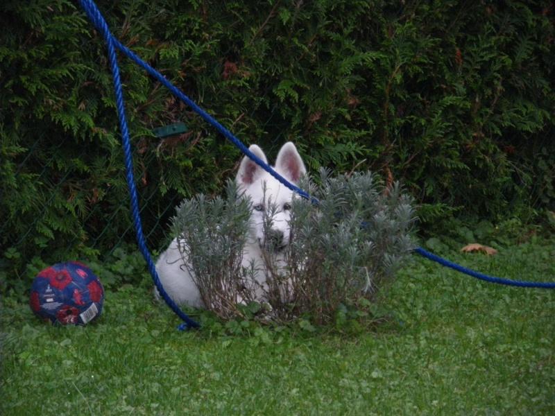 le siberien husky et un grand jardinier et oui Imgp3910