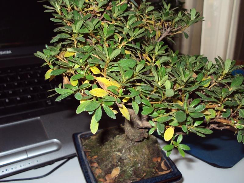 Azalea foglie gialle Dsc00116