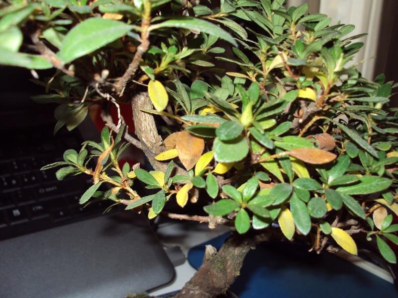 Azalea foglie gialle Dsc00117