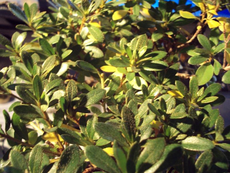 Azalea foglie gialle Dsc00118