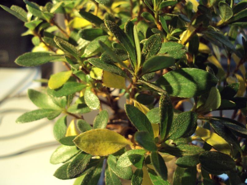 Azalea foglie gialle Dsc00119