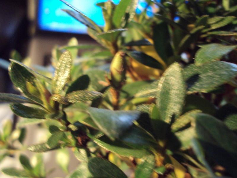Azalea foglie gialle Dsc00120