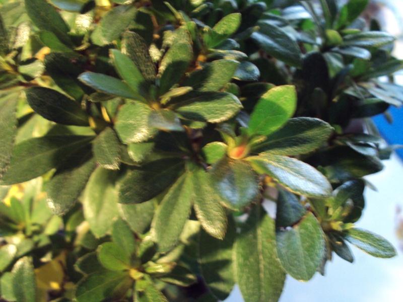 Azalea foglie gialle Dsc00122
