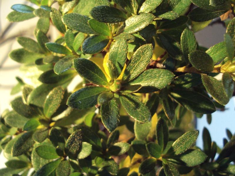Azalea foglie gialle Dsc00123