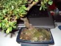Azalea foglie gialle Dsc00115