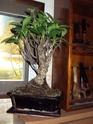 la mia piantuzza Ficus_22