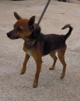 Adoption Mousse pinscher mâle 4 ans (30) 20120413