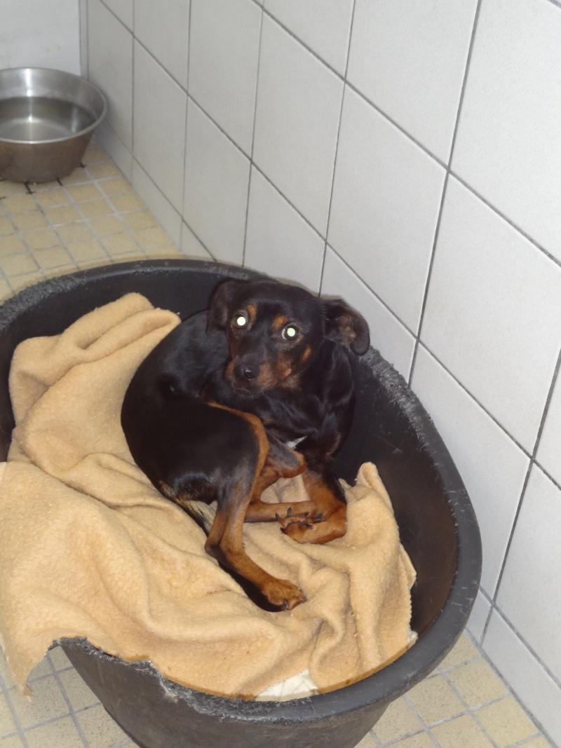 Zazie x pinscher 2 ans à l'adoption. 2061010