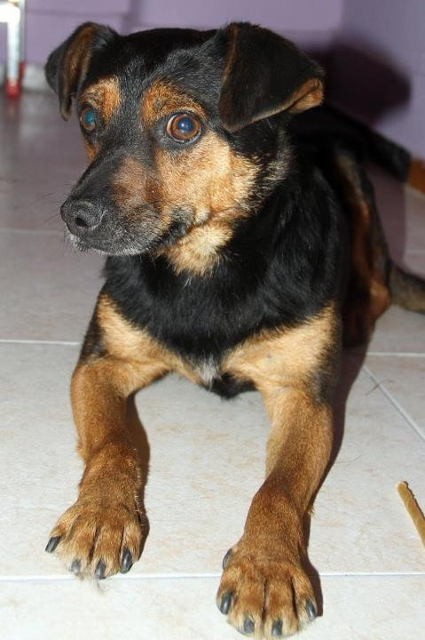 Adoption Bilbo x pinscher . 29800811