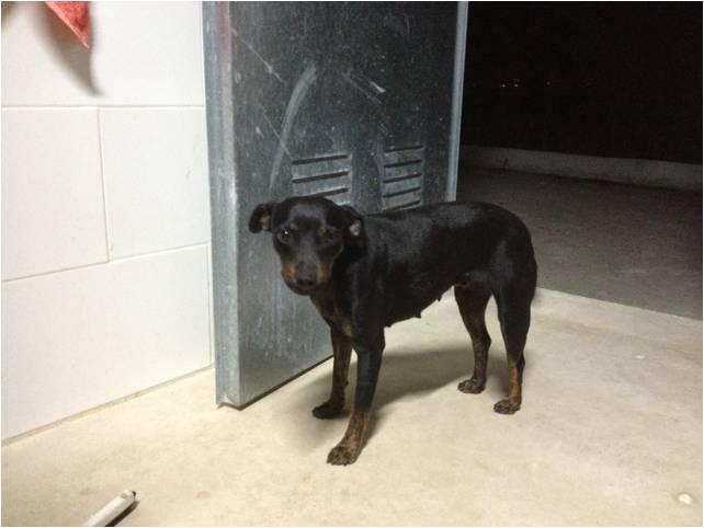 Carla 1 an à l'adoption. 42110