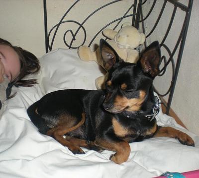 Kiko x pinscher chihuahua 4 ans à l'adoption. Kiko10