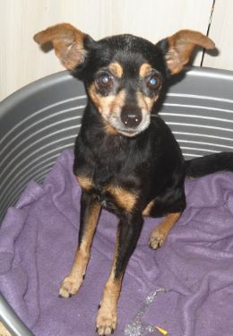 Adoption Pin up pinscher de 10 ans . Pin_up10