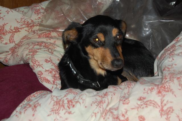 Louna x pinscher de 11ans à l'adoption (60) Pkiwq10
