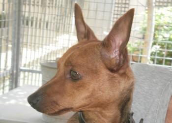 Adoption Rambo né le 14/10/2009 Rambop11