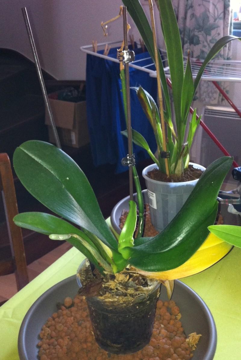 Phalaenopsis de Ptitechipinou - Page 3 Img_1111