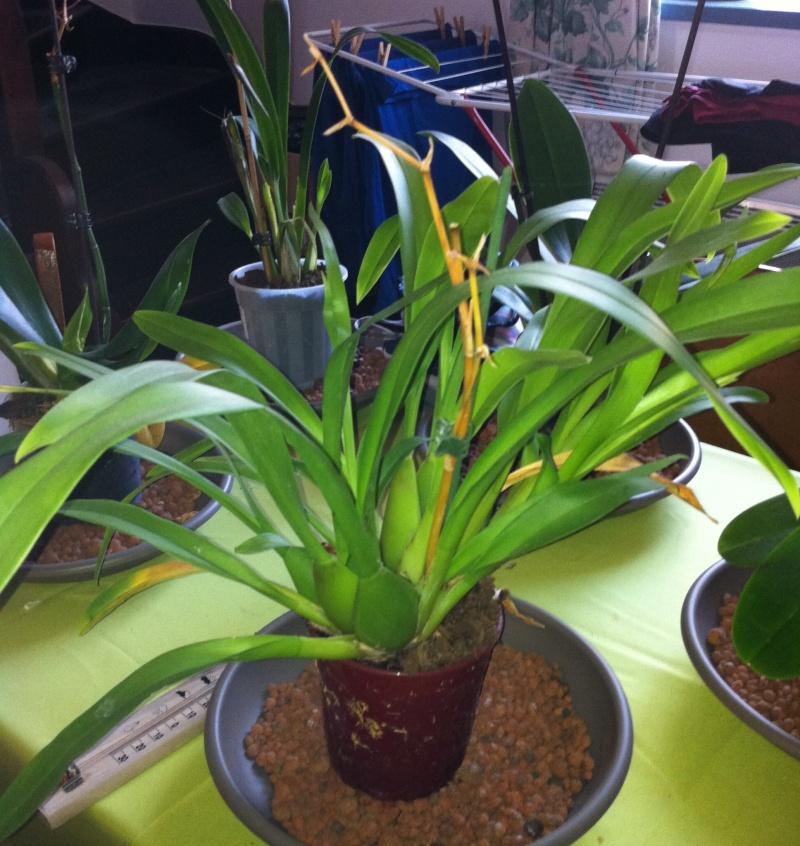Phalaenopsis de Ptitechipinou - Page 3 Img_1112