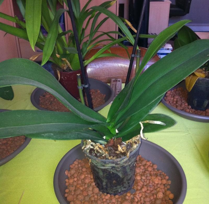Phalaenopsis de Ptitechipinou - Page 3 Img_1113