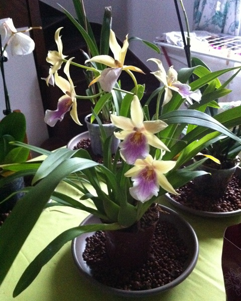 Phalaenopsis de Ptitechipinou - Page 3 Img_1114