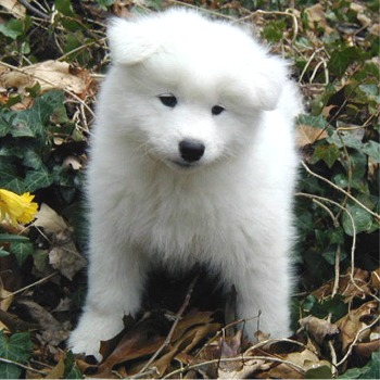What kind of pet do you have? Samoye10