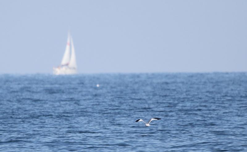 Oiseaux marins - échantillonage en mer - Mor Braz Sabine11