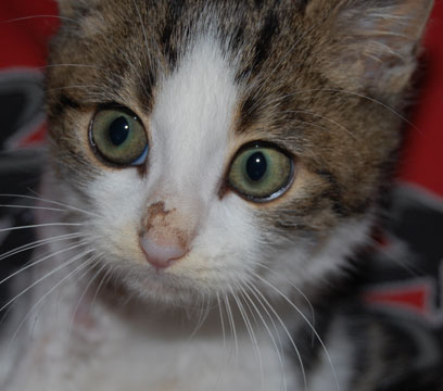 2 chatons dont 1 blessé et os à nu + abcès par dessus - Page 2 Sushi410