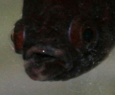 Voile blanc sur la bouche de mon betta Img_6110