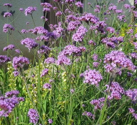 Verbena bonariensis !!! 05062011