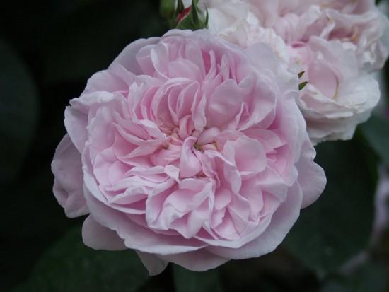 Rosa 'Fantin Latour' !!! Fantin10
