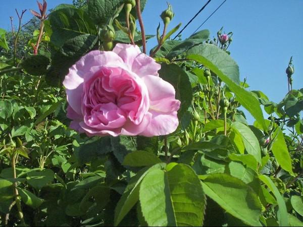 Rosa 'Fantin Latour' !!! Fantin11